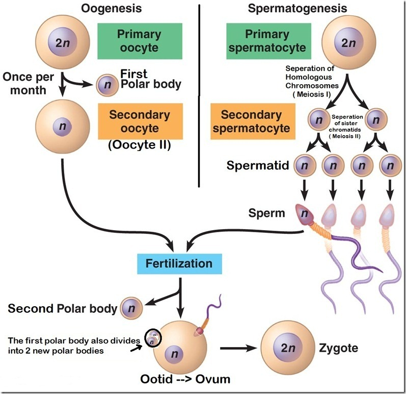 oogenesis and spermatogenesis
