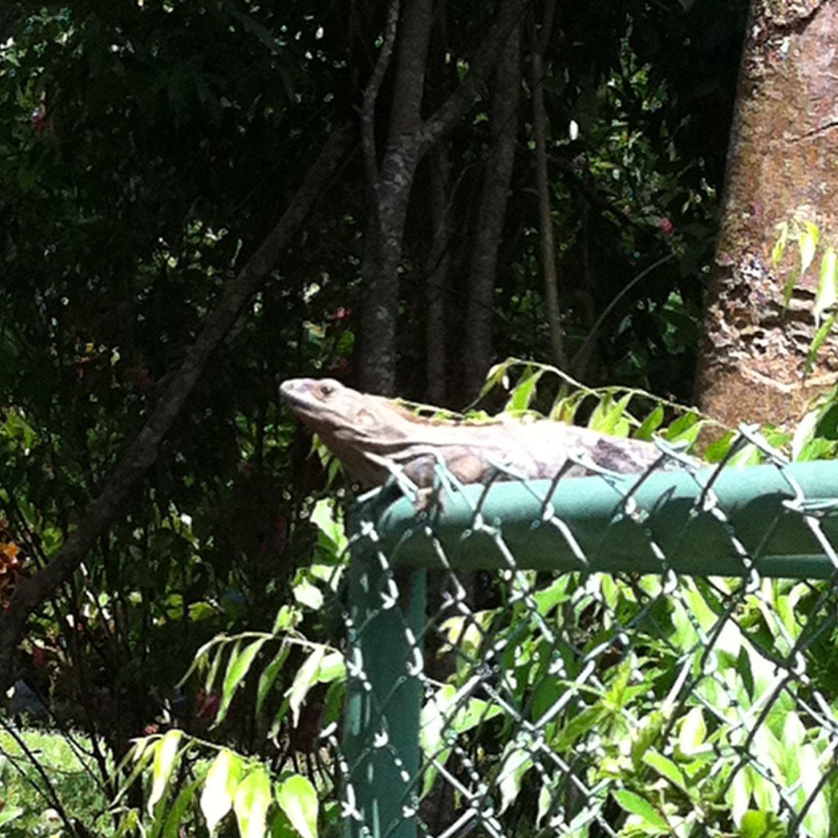 Black spiny-tailed iguana
