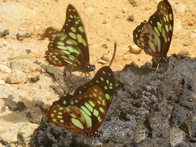 Graphium cyrnus (BOISDUVAL, 1836), endémique. En bas, à droite : Leptotes pirithous (LINNAEUS, 1767). Parc de Mantadia (Madagascar), 29 décembre 2013. Photo : J. Marquet