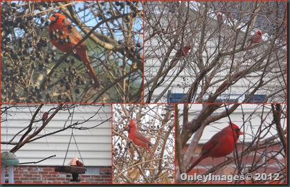 Cardinals Male collage
