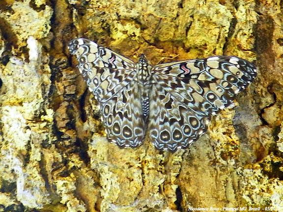 Hamadryas feronia farinulenta (FRUHSTORFER, 1916). Pitangui (MG, Brésil), 5 mai 2012. Photo : Nicodemos Rosa