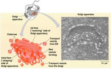 Golgi apparatus- sorting centre of the cell
