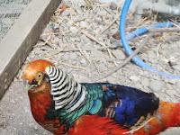 Jual X-Lady Pheasant