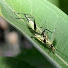 Black-horned Tree Cricket
