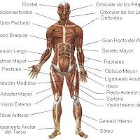 sistema_muscular.jpg