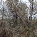 Russian olive tree