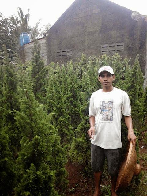 Tukang Taman menjual pohon cemara lilin,  cemara tretes,  cemara pua pua dengan harga murah