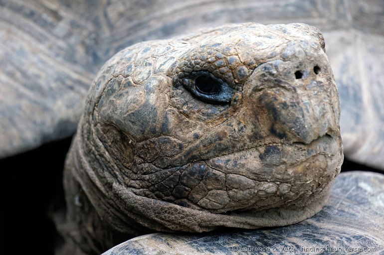 giant tortioise close up Galapagos