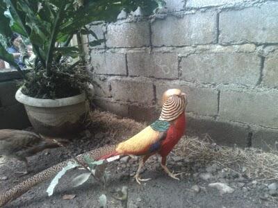 jual ayam hias golden pheasant