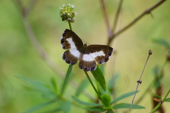 Riodinidae : Juditha molpe HÜBNER, 1808, femelle. Près de Camp Patawa (second layon), Montagne de Kaw (Guyane). 16 novembre 2011. Photo : J.-M. Gayman
