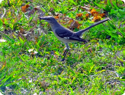 Texas mockingbird