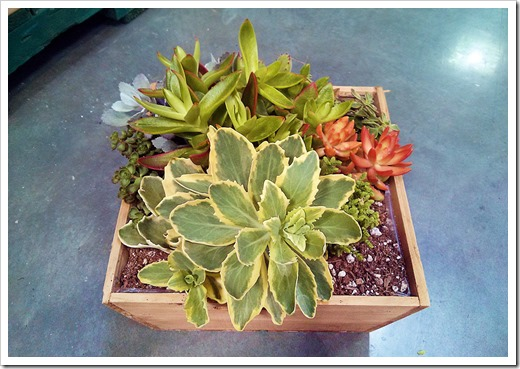 130612_SucculentGarden_Costco_13