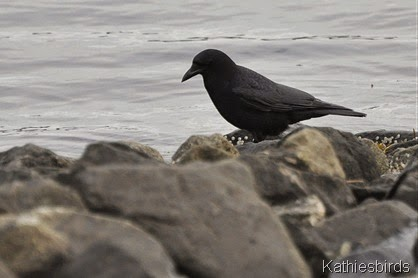 20. Dec-21-14 crow on the rocks-kab