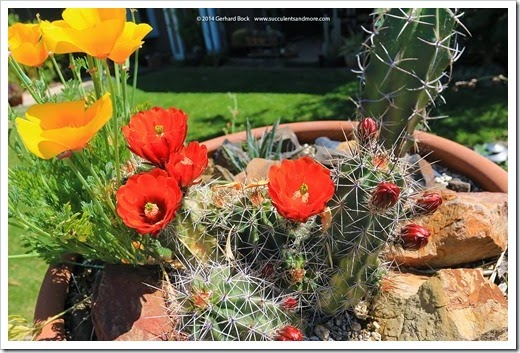 140414_claret-cup- -poppy-bowl_019