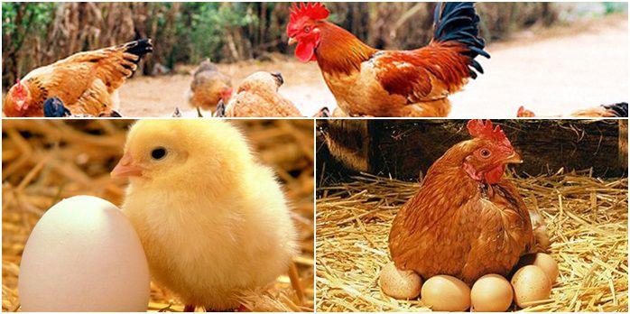 Kết quả hình ảnh cho mơ thấy con gà