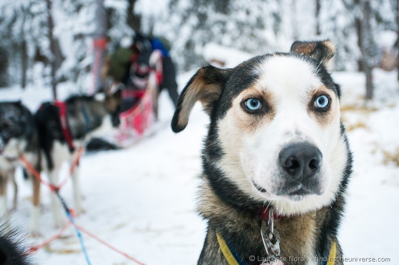 husky ready to run finland lapland