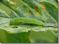 187px-Gonepteryx_rhamni_-_caterpillar_01_(HS)