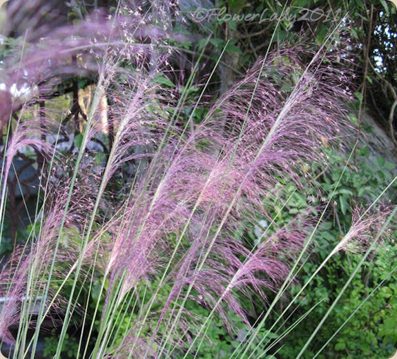 10-22-pink-muhly-grass4