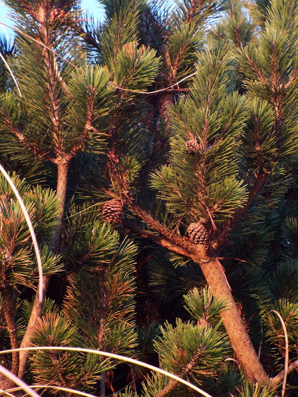coastal pinecones