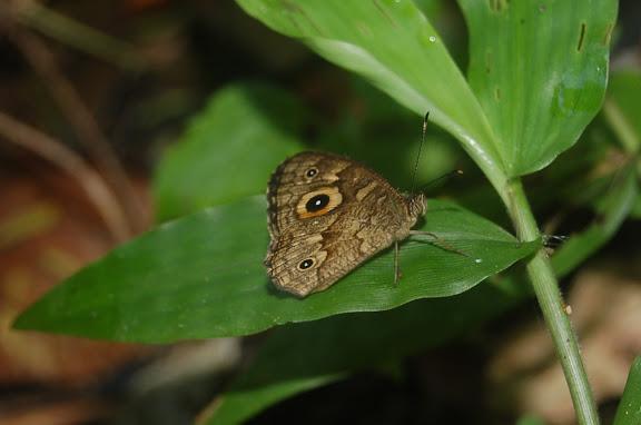 Probablement Heteropsis (Henotesia) strigula MABILLE, 1877. Forêt de la Montagne d'Ambre (500 m), au sud d'Antsiranana, 31 janvier 2011. Photo : T. Laugier