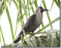 040 Crow ( Kagdo )