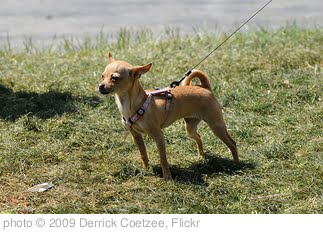 'Small tense dog on leash' photo (c) 2009, Derrick Coetzee - license: http://creativecommons.org/licenses/by/2.0/