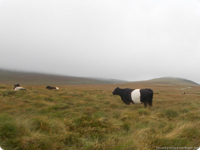galloways eating tussocks