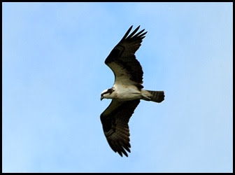 04 - Osprey over the river