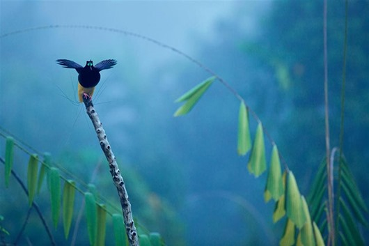 Тим Ламан: Тайны райских птиц clip_image006