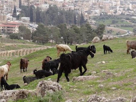 14. Capre in Jerash.JPG
