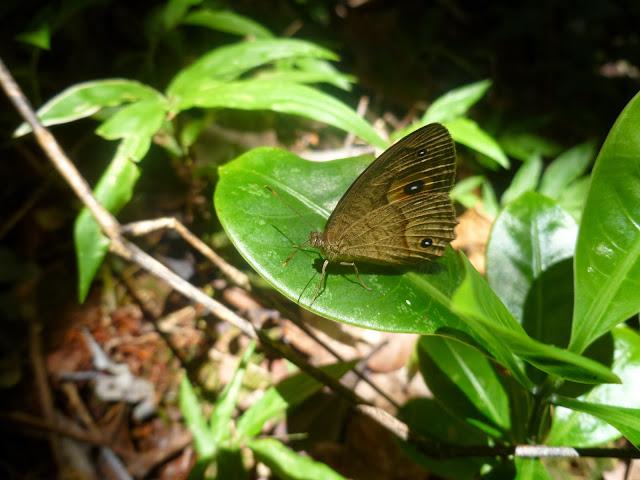 Heteropsis subsimilis (BUTLER, 1879), endémique. Parc de Mantadia (Madagascar), 27 décembre 2013. Photo : J. Marquet