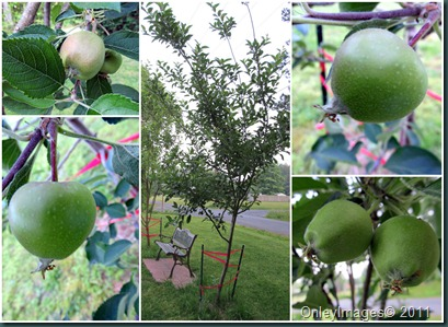 apple tree collage0523