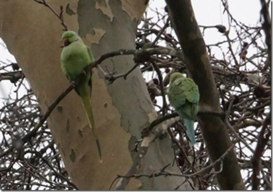 paris 2012 parrots in parc mont sourris 121912 00000