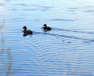 11. Peaceful Mallards-kab