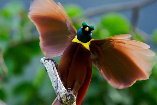 Тим Ламан: Тайны райских птиц clip_image018