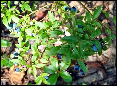 02f - Emory Path -  blueberries along the path