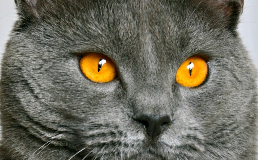 My golden eyed chartreux by Serge Ostrogradsky - Animals - Cats Portraits