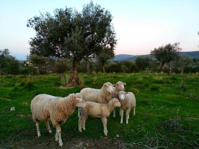 Ovelhas no Campo em Porto de Mós