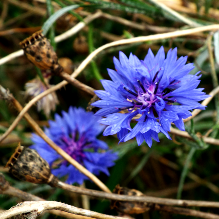 blue cornflowers and seed pods