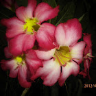 kamboja jepang / desert rose
