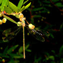 Eastern Willow Spreadwing