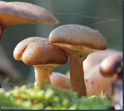 38-Honey Fungus (Armillaria mellea)