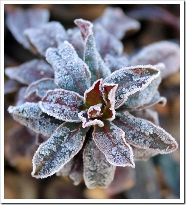 130117_UCDA_Euphorbia_purple_02
