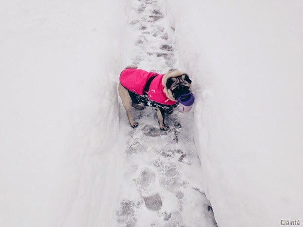 luna the pug snow slovenia dainte winter season