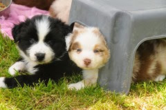 Australian Sheepdog Pups