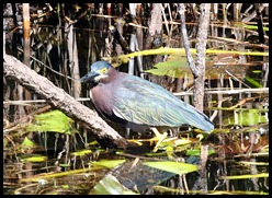 09b - Little Green Heron