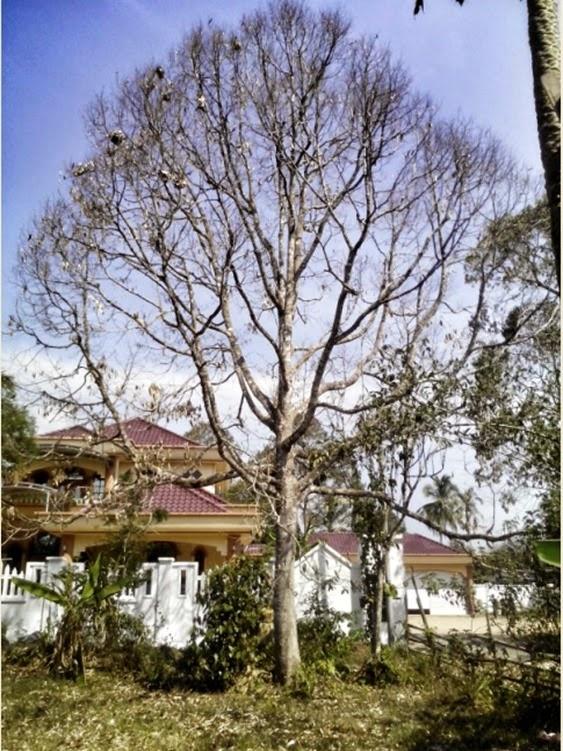 pokok durian kering