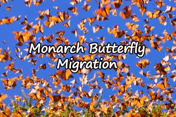 monarch-migration