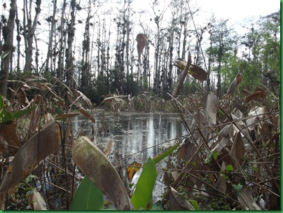 Big Cypress Swamp Hike (39)