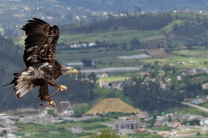 eagle in flight ecuador
